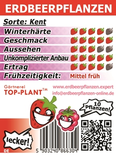 Kent Erdbeerpflanzen