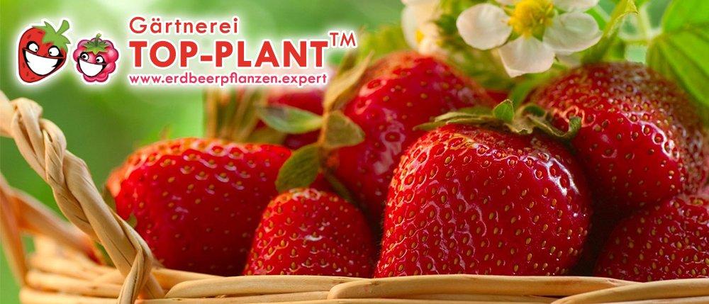 Erdbeerpflanzen Expert