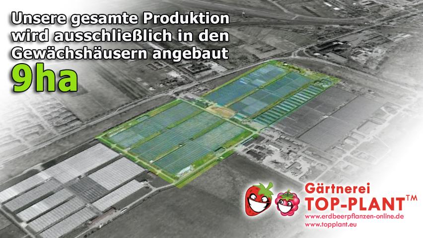 Gärtnerei Erdbeerpflanzen