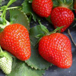Clery Erdbeerpflanzen